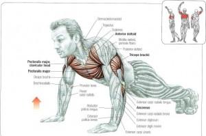 anatomija na sklekovite