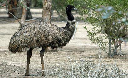 emu maslo2