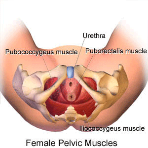 female-pelvic-muscles